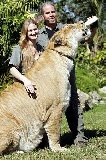 Huge female liger
