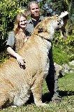 Huge female liger