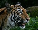 Tiger posing 1