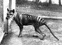 Tasmanian Tiger, Thylacine