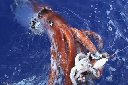 Giant Squid at surface