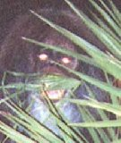 Myakka Skunk Ape (Close view)
