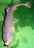 Weird Horned Shark 1