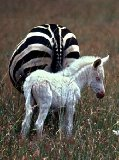 White Zebra