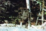 Patterson Bigfoot still (3)