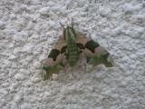 Huge Hawk moth