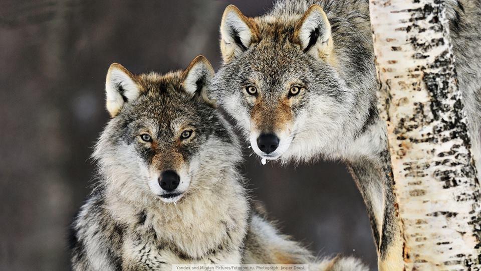 WOLFs 02.jpg