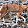 Ethiopian wolf