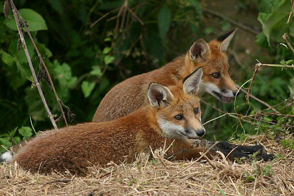 Foxcubs1