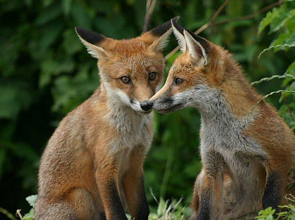 Foxcubs3