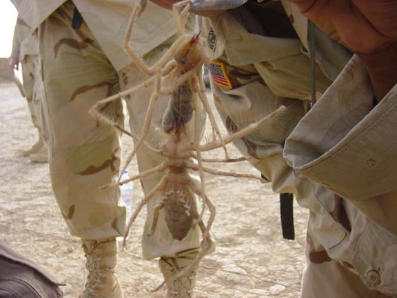 Iraq Camel Spiders