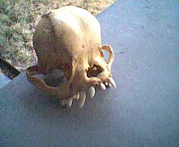 Unidentified CreatureSkull (4)