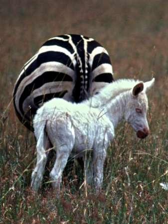 Zebra Without Stripes zebra born without stripes