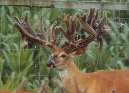 Non-typical deer rack