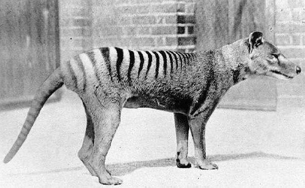 Live Thylacine