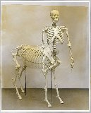 Skeleton of a Centaur
