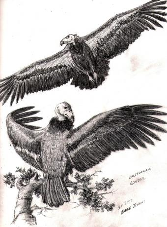 Califonia Condor Study, Graphite on Paper