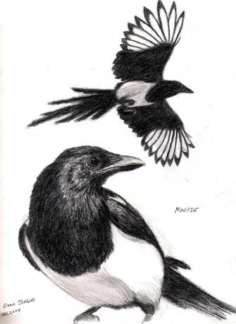 Magpie Study, Graphite on Paper