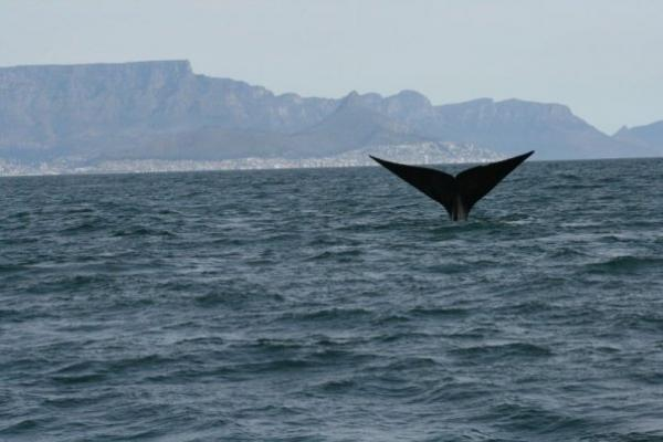 Right whale fluke and Table mountain
