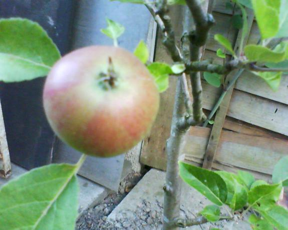 New apple tree