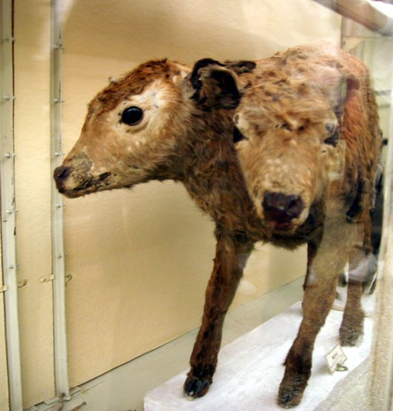 2-Headed Calf