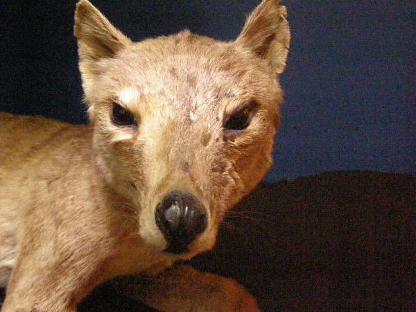 Stuffed Thylacine