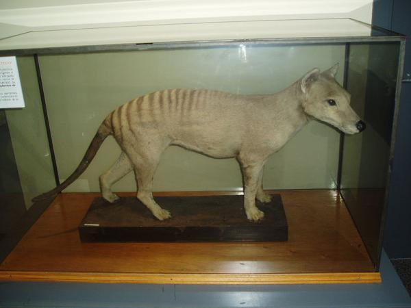 Thylacine on display