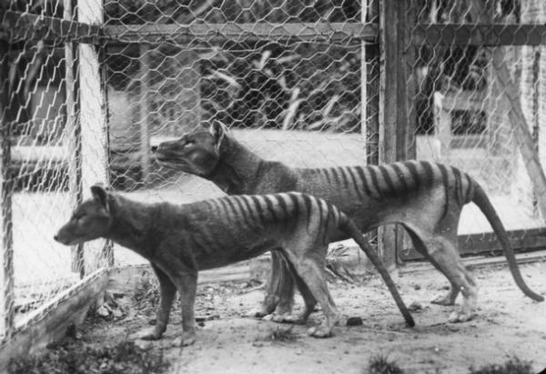 Thylacines