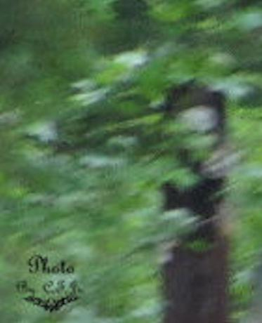 Pic of a Gray I took on 05/15/2011. here in my woods, Photo by, Coleman Tilghman Jr, or a old Woman in Black standing in the woods.