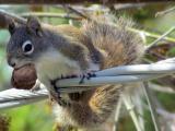 My backyard buddies (American Red Squirrel) 4