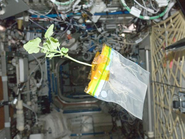 International Space Station - A Zucchini Plant