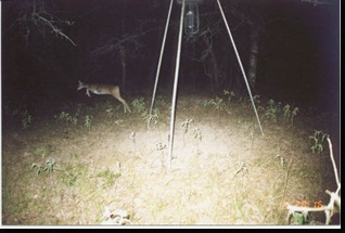 "The old ""deer cam chupacabra"" photo unedited."