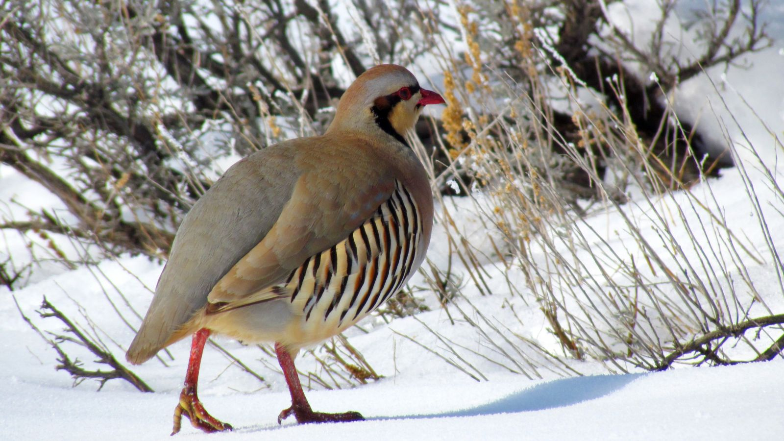 Chukar Partridge - Unexplained Mysteries Image Gallery