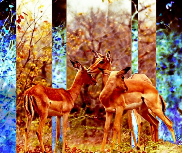 Impala Dreaming