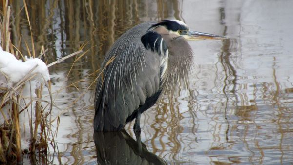 Resting Great Blue Heron
