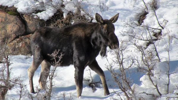 Male Moose after Shedding Antlers
