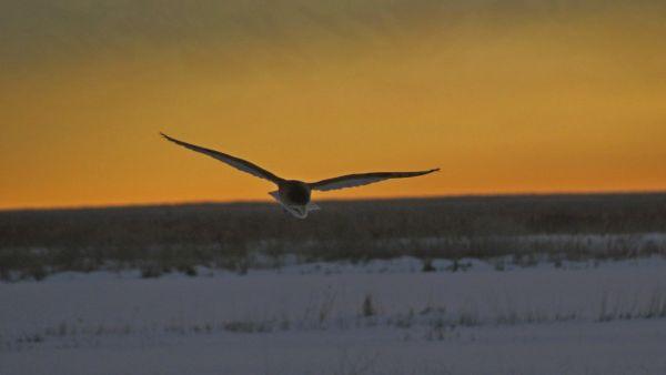 Barn Owl Hunting at Sunset