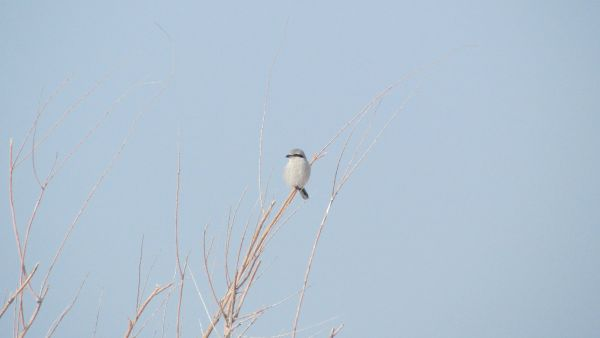 Northern Shrike (male)