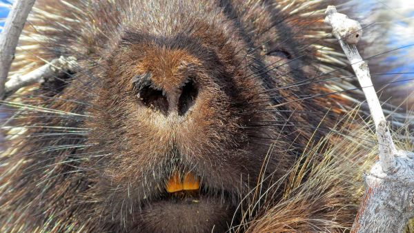 Porcupine Portrait