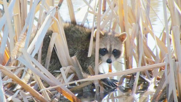 Marsh Raccoon
