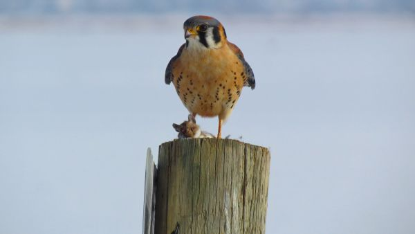 American Kestrel (male) with Mouse