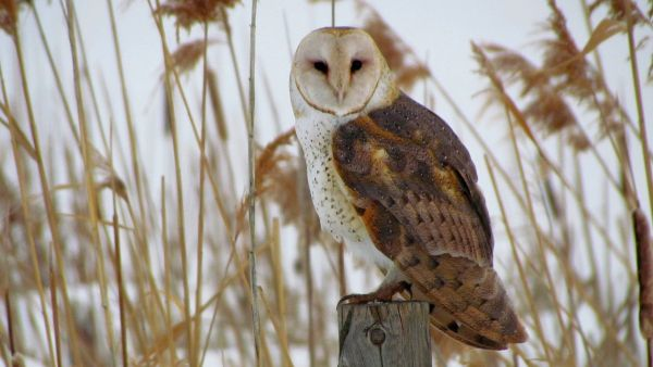 Resting Barn Owl