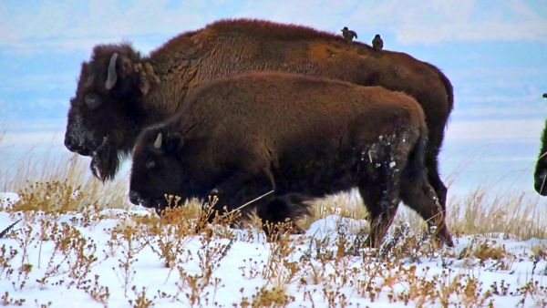 Cow & Calf Bison