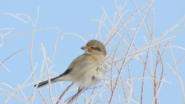 Northern Shrike (female)