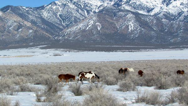 Skull Valley Wild Horses