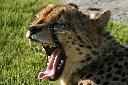 Tired Cheetah ;-)