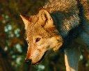 One of my wolf friends - Duma