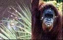 Skunk Ape/Orang Utan Comparison