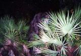Myakka Skunk Ape