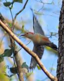 Woodpecker Taking to Flight